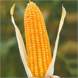 Menkir noted that maize was the most frequently consumed staple in ...